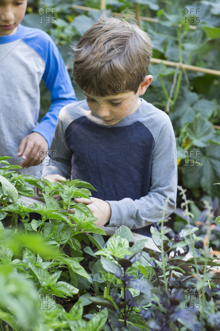 Boy looking at basil in garden