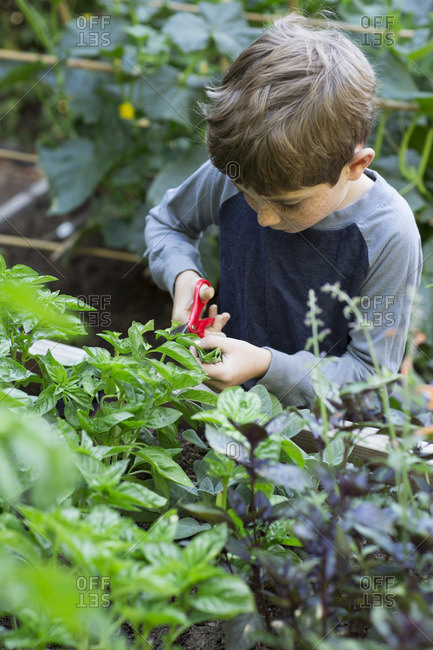 Boy harvesting herbs in garden