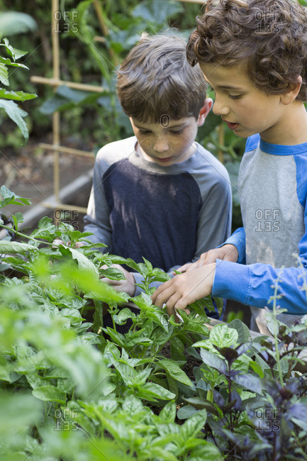 Boys looking at basil plants in garden