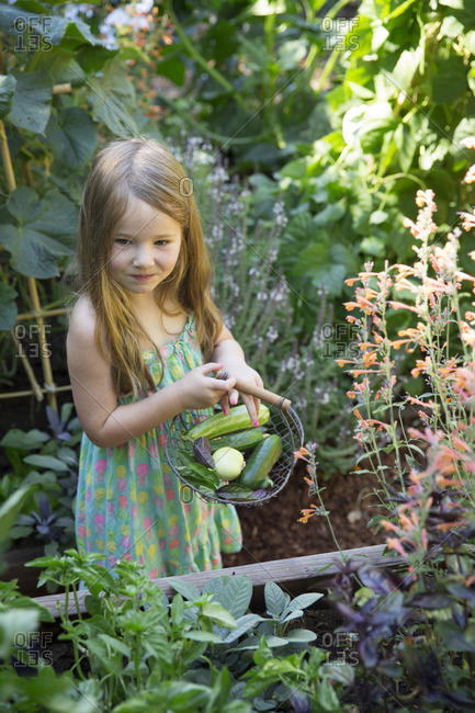 Young girl picking vegetables in garden