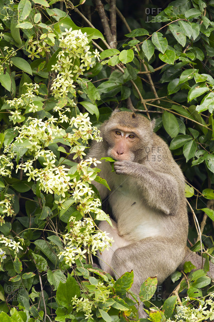 Thailand, eating Rhesus macaque