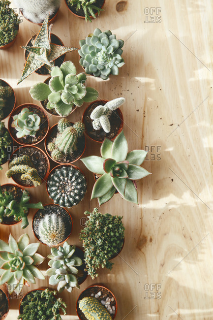 Cactus and succulents on wood