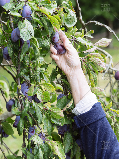 Hand of senior woman harvesting plums