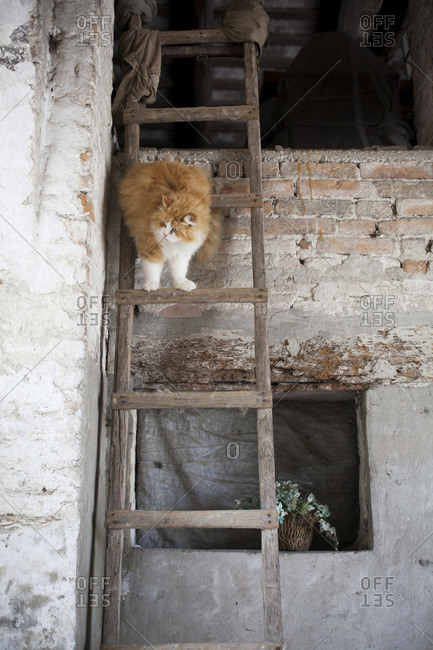 A red cat going down a wooden ladder in a farm
