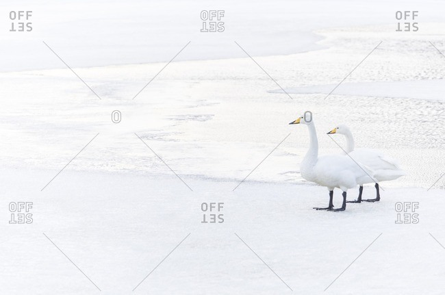 A pair of Whooper Swans resting on a frozen lake in central Reykjavik, Iceland.