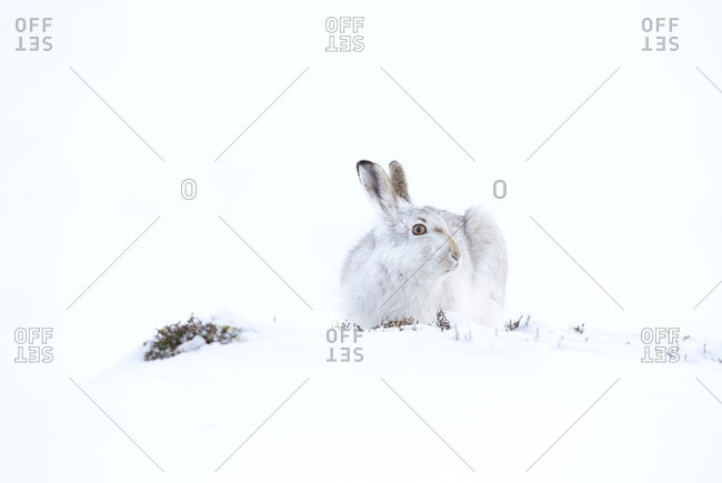 Mountain Hare in