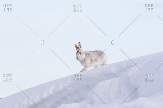 Mountain Hare in Cairngorms, 