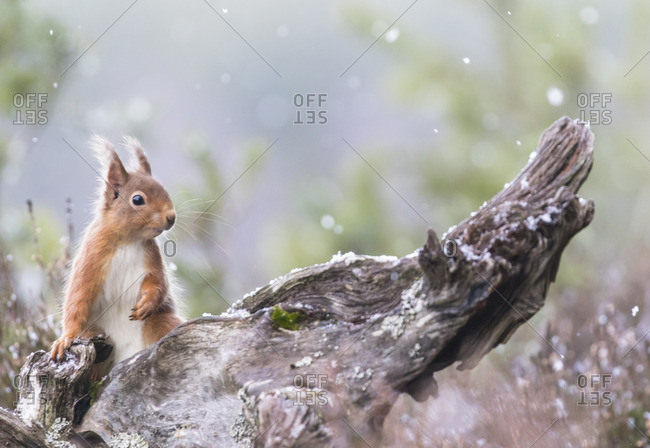 Red squirrel sitting in snowfall, Cairngorms National Park, Scotland.