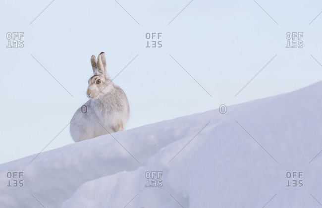 Mountain Hare inCairngorms, Scotland.
