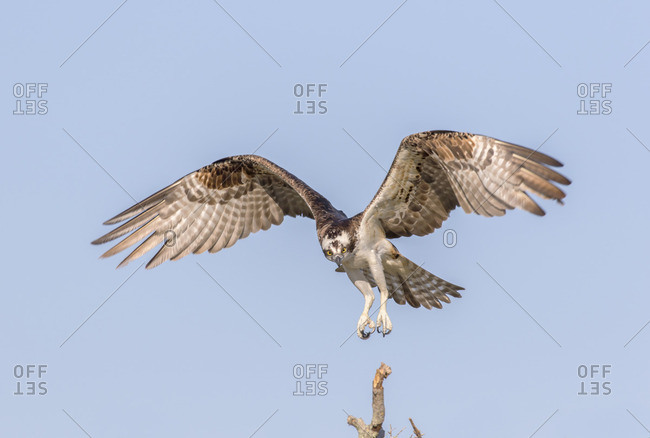 Osprey landing in it's nest against a blue sky.