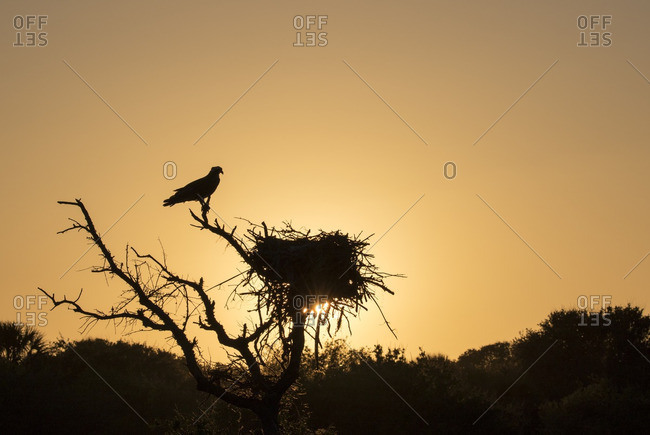 Silhouette of adult Osprey sitting near its nest at sunset, Fort Desoto Park, Florida, United States
