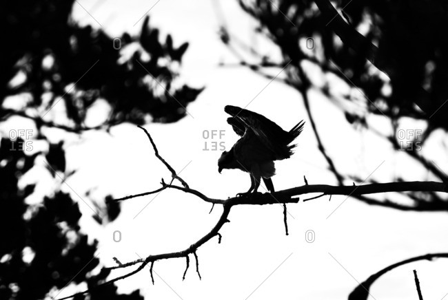 Black and white image of Osprey walking along a branch.