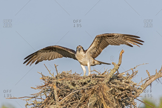 Osprey Landing in nest, Fort Desoto Park, Florida, United States.