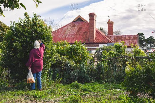 Older woman picking mandarins behind old farm house