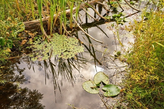 Lily pads and plants in lake