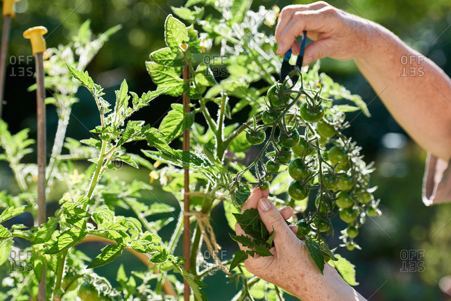 Woman pruning green tomato plants in a sunny garden