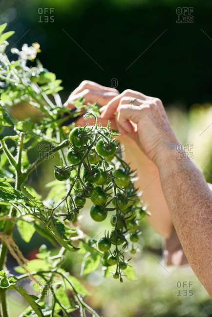 A woman pruning tomato plants in a sunny garden