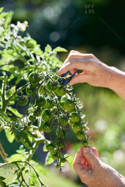 A woman's hands pruning tomato plants in a sunny garden