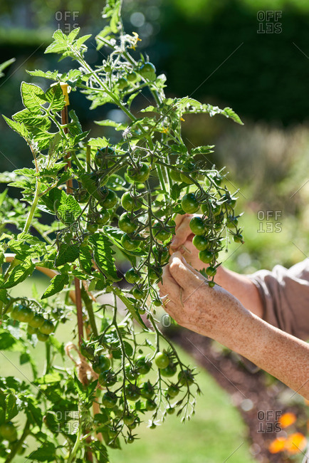 Gardener tying green tomato plants to bamboo poles in a sunny garden