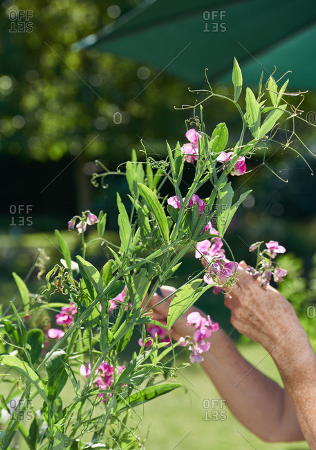 A woman pruning a sweet pea plant in a sunny garden
