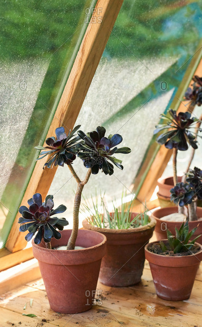 Pots of Aeonium succulents on a sunny greenhouse windowsill
