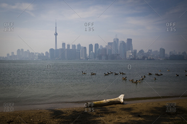 Canada Geese on Lake Ontario with a view of the NC Tower from the islands in Toronto, Canada