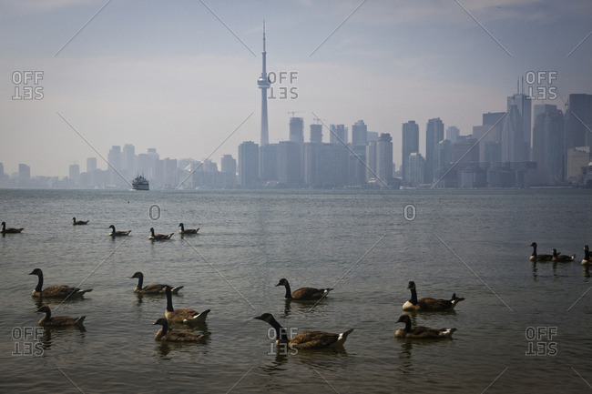 Canada Geese  on Lake Ontario in front the NC Tower, Toronto, Canada
