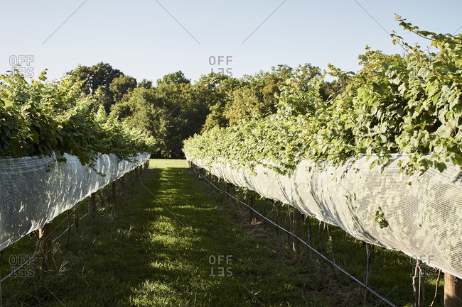 Rows of grapevines at a vineyard