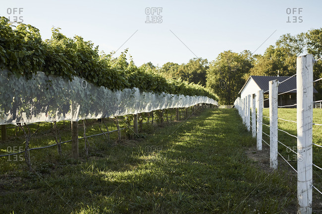 Rows of grapevines at a rural vineyard