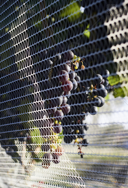 Close-up of a bunch of grapes on a grapevine