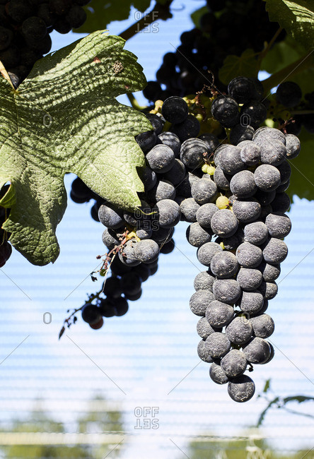 Close-up of a bunch of grapes hanging on a sunlit grapevine