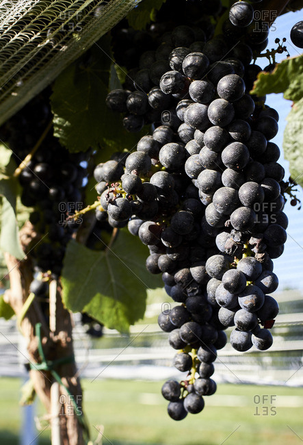 Close-up of a bunch of grapes hanging on a grapevine