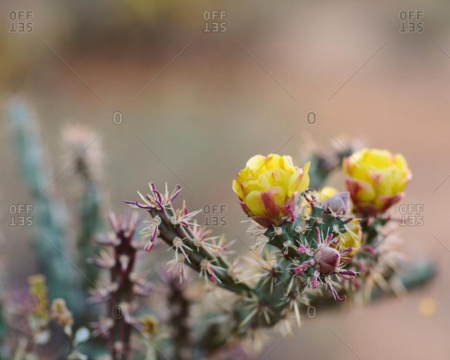 A cactus flower in bloom