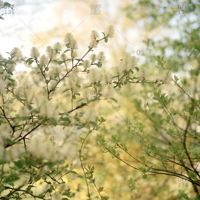 Delicate blossoms on tree branches