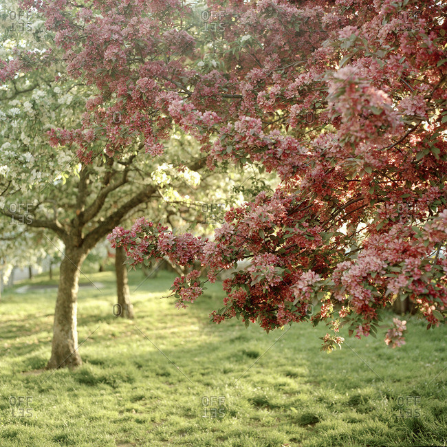 Tree with flowers in full bloom in an orchard