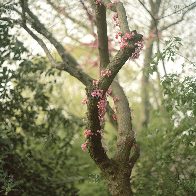 Tree branch sprouting pink flowers