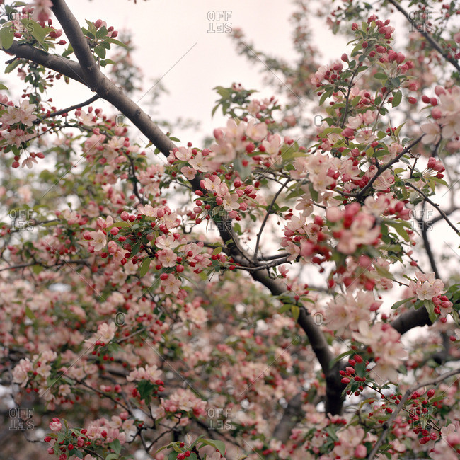 Pink buds and blossoms on a flowering tree