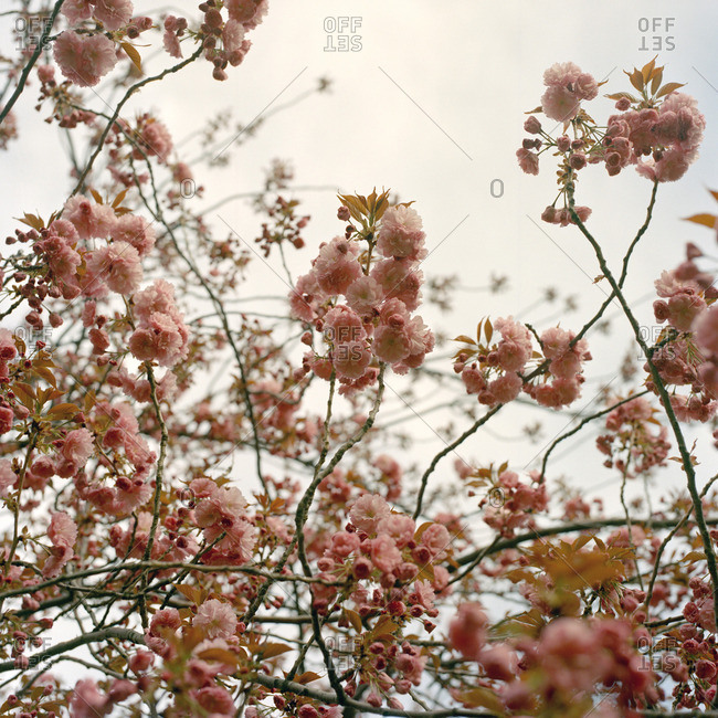 Pink blossoms on tree branches