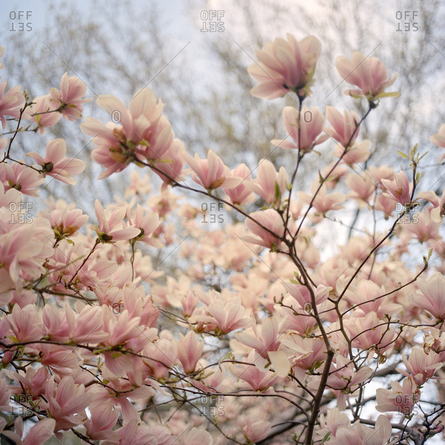 Tree branches full of pink flowers in bloom
