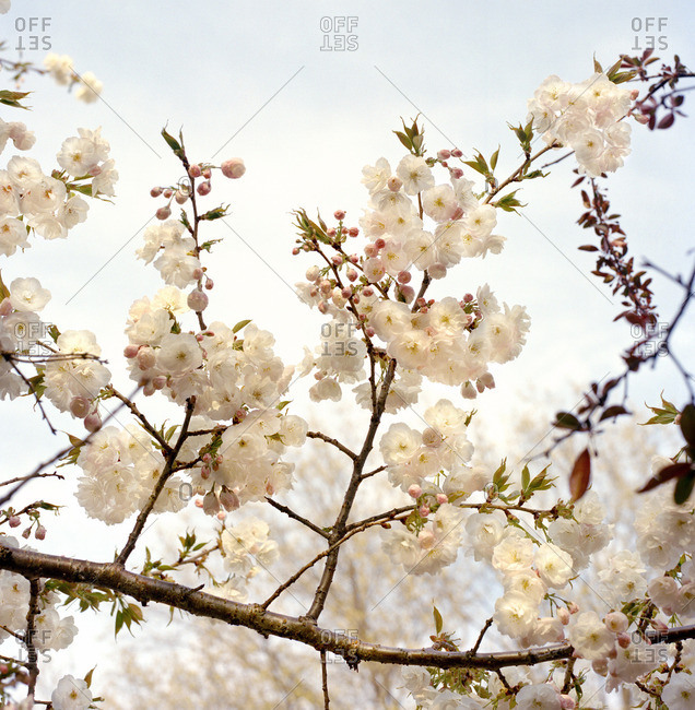 Close-up of a tree branch with white blossoms
