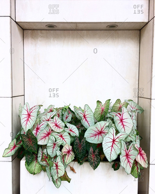 Potted fancy leaf caladium plant with large white leaves and red veins