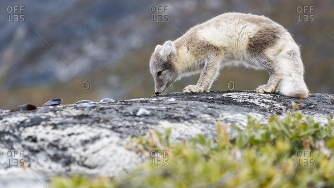 An arctic fox (Alopex lagopus) sniffing the ground in Disko Bay, Greenland