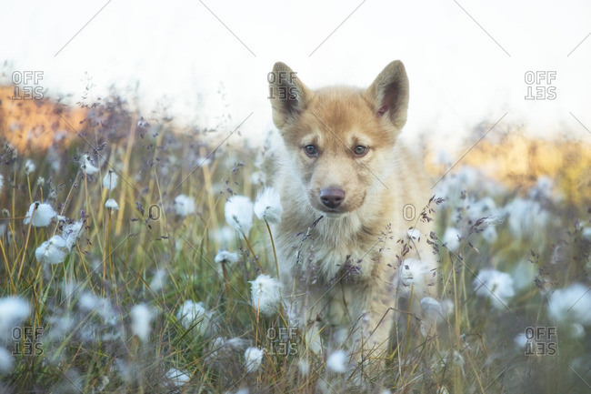 Greenland Husky pup roaming in the grass, Disko Bay, Greenland