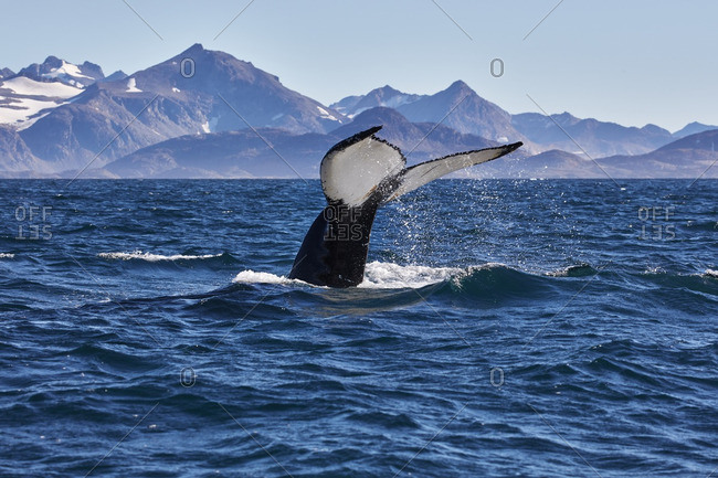 Tail of a humpback whale splashing in the sea off the coast of Greenland
