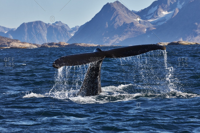 Tail of a humpback whale splashing in the water near the coast of Greenland