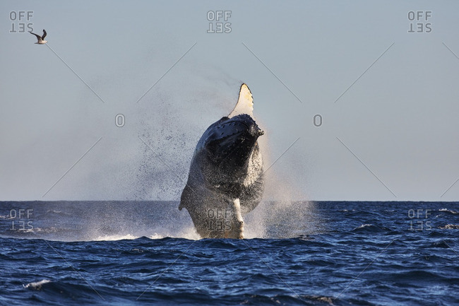 Humpback whale leaping from the ocean