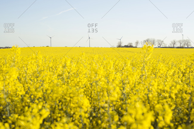 Wind turbines in a field covered in yellow flowers