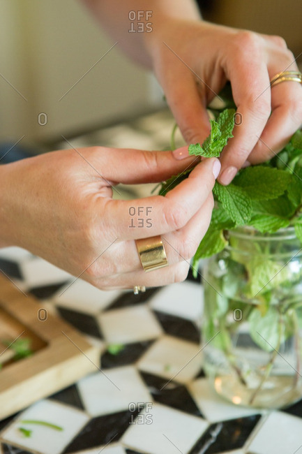 Person taking fresh mint leaves off stalk
