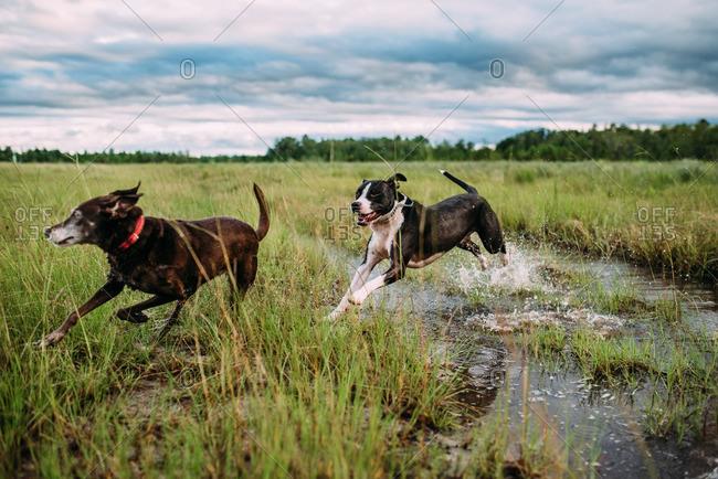 Dogs running in a wet field