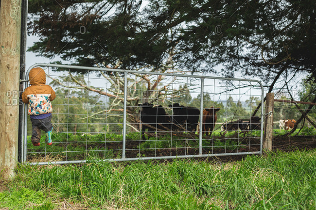 Toddler boy climbing a gate to watch young cattle in paddock